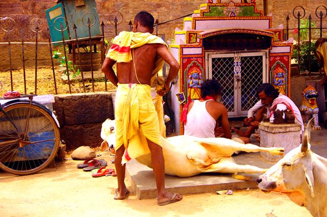 ヒンドゥ寺院の前の牛をどかす
