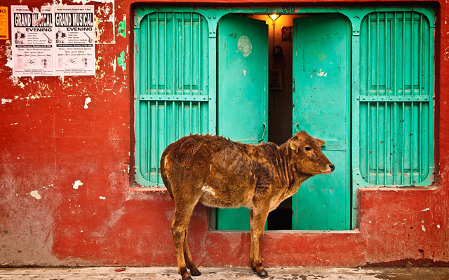 インドの野良牛事情
