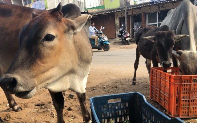 道に牛がいる様子