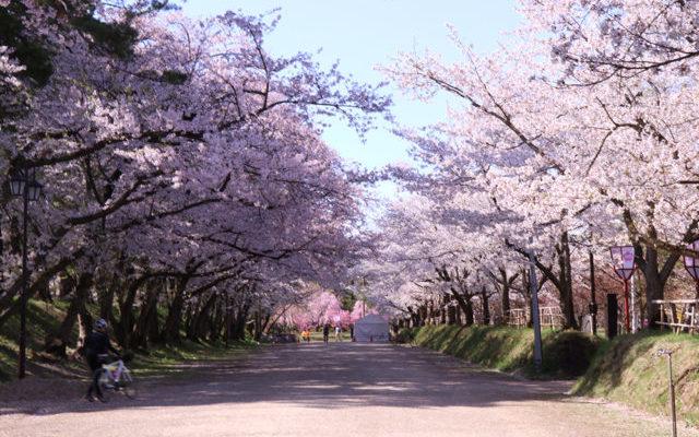 地元の桜が咲いている様子